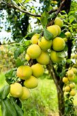 foto of orchard  - Ripening peaches on tree in fruit orchard - JPG