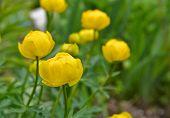 picture of may-flower  - Trollius - JPG