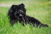 picture of chow-chow  - black chow chow breed dog outdoors in summer - JPG