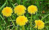 stock photo of dandelion  - Dandelions in the meadow. Bright flowers dandelions on background of green meadows. ** Note: Shallow depth of field - JPG