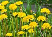 stock photo of dandelion  - Dandelions in the meadow - JPG