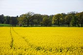 image of track field  - Swedish village with tracks in a blossom rapeseed field at the island Oland - JPG