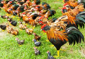 picture of turkey-hen  - Group of toy hen on the grass - JPG