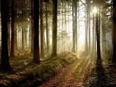stock photo of coniferous forest  - Coniferous forest illuminated by the setting sun on a foggy autumn day.