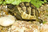 image of centenarian  - juvenile of greek turtle on sand  - JPG