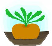 Ripe Turnip Grows On Bed