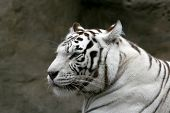 White Bengalese Tiger.