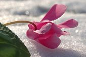 Flower On A Snowfield