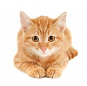 cute little red kitten isolated on white