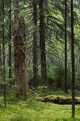 Floresta de coníferas