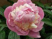 Peony With Water Droplets