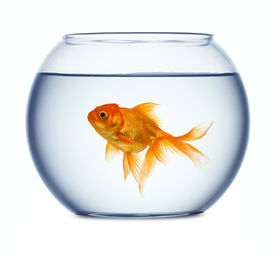 stock photo of fishbowl  - Goldfish in a fishbowl - JPG
