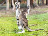 Kangaroo with baby alert
