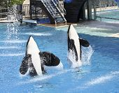 A Killer Whale Pair Perform In An Oceanarium Show