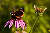 picture of prairie coneflower  - Dark butterfly feeding on Purple coneflower Echinacea purpurea - JPG