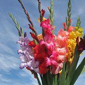 Bunch Of Gladioli Flowers