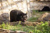 Ussuri Black Bear In The Wild. Asiatic Black Bear poster