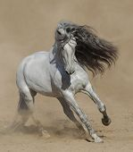 Light gray Purebred Spanish horse playing on sand in dust. poster
