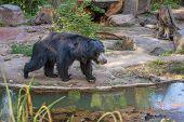 Sloth Bear, Melursus Ursinus, Labiated Bear With Long Lower Lip. Wildlife Animals poster