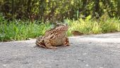 Common Water Frog On The Pavement. Amphibian Class poster