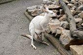 The White Albino Western Grey; Kangaroo Has A Brown Joey poster