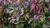 Dark Green And Purple Leaves Of Wild Grapevine. Colorful Autumn Foliage Textures. Fall Season Backgr poster
