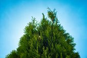 Thuja On Clear Blue Sky. Thuja Of Bright Light Green Color On Clear Blue Sky. Natural Background And poster