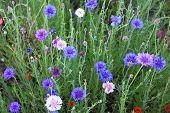 Cornflower or Bachelor's Button wildflower field