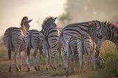Zebra Herd With Young Ones Grazing On Grass And Wildflowers poster