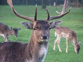 Male Deer At Guard