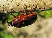 picture of oryctes  - Beetle - JPG