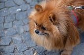 Breeds Of Domestic Dogs. Pomeranian Spitz poster