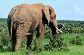 Elephant, Addo Elephant National Park, South Africa