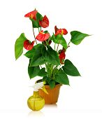 A Large Plant Anthurium And Yellow Sprayer