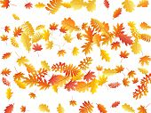 Oak, Maple, Wild Ash Rowan Leaves Vector, Autumn Foliage On White Background. Red Orange Gold Ash An poster