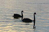 Graceful Black Swans - Lakes Entrance, Victoria, Australia poster