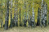 Natural Background - An Autumn Birchwood.