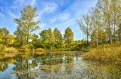 Golden Autumn On The Bank Of Forest Lake. Bright Fall Leaves Of Birch Trees In Calm Water Swiming. Y poster