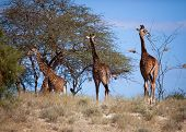 Three giraffes on savanna. Safari in Amboseli, Kenya, Africa