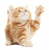 stock photo of puss  - One Playing british shorthair red kitten cat isolated - JPG