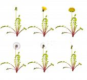 chain of the dandelion flowers from beginning to senility isolated on white background