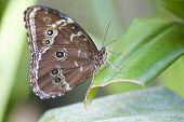Aquiles Morpho borboleta