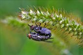Two Wild Fly  Diptera  Having Sex