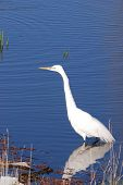 pic of klamath  - Great Egret Casmerodius albus near Klamath Falls on Upper Klamath Lake - JPG