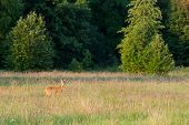 stock photo of hayfield  - Roedeer or goat on a hayfield in front of green forest - JPG
