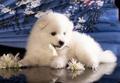 pic of bitches  - bitch and puppies Japanese Spitz - JPG
