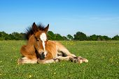 stock photo of foal  - Cute Brown Pony Foal Laying on Grass in New Forest England - JPG