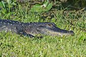 picture of crocodilian  - American Alligator Laying in the Grass in the Florida Everglades - JPG