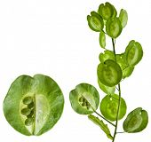 Field Penny-cress Brassicaceae (Thlaspi arvense) isolated on white background
