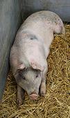 Large Pig.